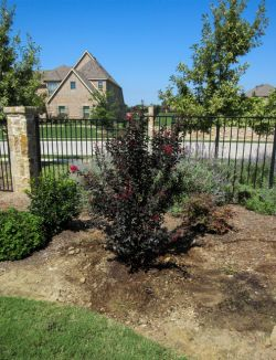 Black Diamond Crape Myrtle planted in a backyard flowerbed by Treeland Nursery.