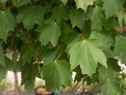 Brandywine Maple Tree Leaves photographed at Treeland Nursery.