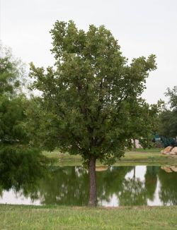 Maturing Bur Oak Tree planted near pond at Treeland Nursery in Gunter, TX.