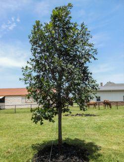 Bur Oak tree planted in a backyard by Treeland Nursery.