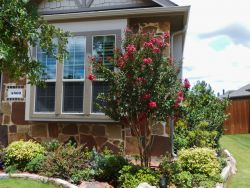 Centennial Crape Myrtle planted in a flowerbed by Treeland Nursery.