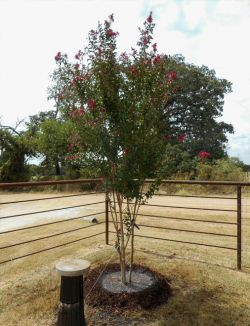 Centennial Crape Myrtle planted along a fence line in a backyard by Treeland Nursery.