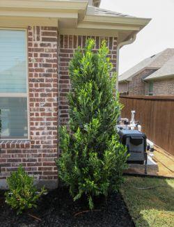 Cherry Laurel Tree planted in a backyard flowerbed by Treeland Nursery.