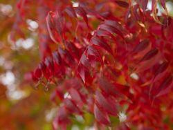 Chinese Pistachio Tree leaf detail photographed by Treeland Nursery.