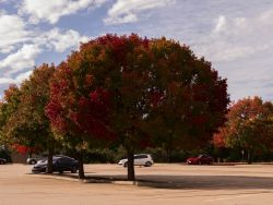 Mature Chinese Pistachio tree with Fall color photographed at the Stonebriar Mall in Frisco, Texas by Treeland Nursery.