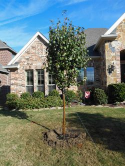 Cleveland Select Pear tree planted in a frontyard by Treeland Nursery.