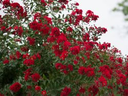 Dynamite Crape Myrtles produce fiery red flowers throughout the Summer. Photographed at Treeland Nursery.