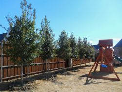 Large row of Tree Form Eagleston Hollies which will provide the perfect amount of privacy for this family's backyard. Trees planted by Treeland Nursery.