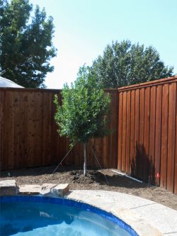 Eagleston Holly Tree planted in a flowerbed next to a pool. Holly tree planted and provided by Treeland Nursery.