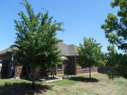 Lacebark Elm Trees planted in a backyard by Treeland Nursery.