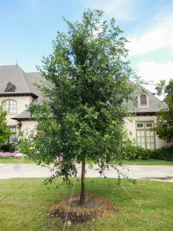 Lacebark Elm tree planted in a frontyard by Treeland Nursery.