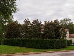 Large row of Little Gem Magnolias which will continue filling in and creating a Privacy Screen Hedge. Photographed in Fort Worth, TX by Treeland Nursery.