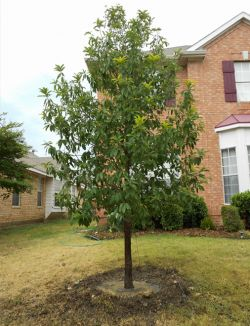 Monterrey Oak tree planted in a frontyard in Plano, Texas by Treeland Nursery.