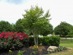 Muskogee Crape Myrtle tree planted in a backyard flowerbed by Treeland Nursery.