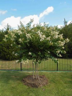 Natchez Crape Myrtle planted along fence by Treeland Nursery.