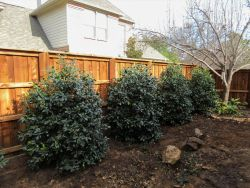 Nellie R Stevens Holly Trees planted along a fence while will mature into a privacy hedge.