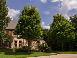 Mature October Glory Maple Trees photographed in Mckinney, Texas. Photographed by Treeland Nursery.