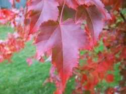 October Glory Maple leaves in the Fall. Photographed by Treeland Nursery.