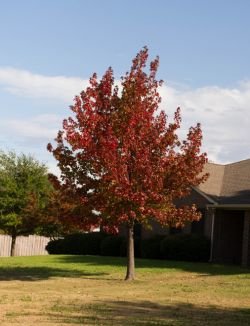 Mature Red Oak tree photographed in the Fall by Treeland Nursery. Red Oak leaf colors can range from brown-red to bright red. The Fall colors depend on the rainfall each year.