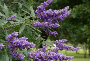 A close up of the 'Shoal Creek' Vitex Tree flowers. This tree is planted at Treeland Nursery.