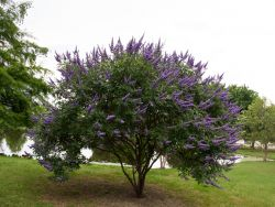 'Shoal Creek' Vitex Tree when it first blooms out in the Summer. This tree is planted at Treeland Nursery.