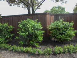 Wax Leaf Ligustrum Trees planted along a fence in a backyard. Trees provided and planted by Treeland Nursery.