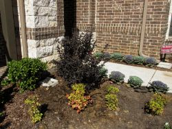 Black Diamond Crape Myrtle planted in a frontyard by Treeland Nursery.