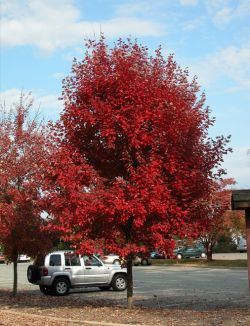 Mature Brandywine Maple Tree photographed in the Fall.
