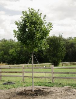 Brandywine Maple Tree installed in Argyle, Texas by Treeland Nursery.