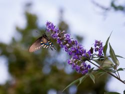 Swallowtail Butterfly on a Vitex 'Shoal Creek' flower at Treeland Nursery.