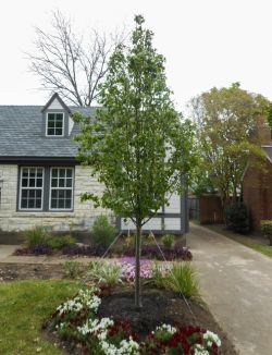 Cleveland Select Pear tree planted in a frontyard in Dallas, Texas by Treeland Nursery.