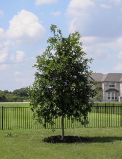 Red Oak tree planted along a fence line in a backyard by Treeland Nursery.