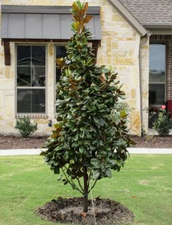 Teddy Bear Magnolia planted and installed in a frontyard by Treeland Nursery. Evergreen trees for Dallas, Texas landscapes.