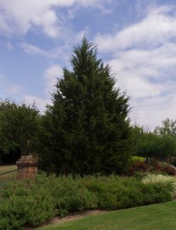 Mature Eastern Red Cedar surrounded by beautiful landscaping. Photographed in Frisco, Texas by Treeland Nursery.