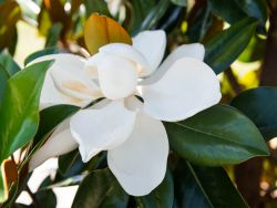 DD Blanchard Magnolias have large white saucer flowers throughout the summer. Photographed at our tree farm north of Dallas, Texas by Treeland Nursery.