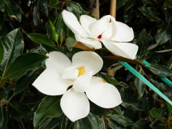 Little Gem Magnolia with a large white saucer shaped flower. Photographed by Treeland Nursery in Gunter, Texas.