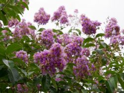 Muskogee Crape Myrtle Tree flowers. Photographed by Treeland Nursery. Purple flowering trees for landscaping in Dallas, Texas.