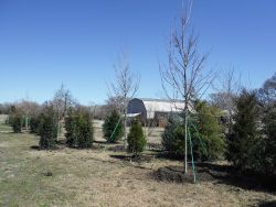 Privacy screen using a mixture of cedars and hollies. Maple trees were added in for variety but are not evergreen.