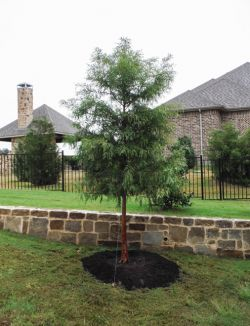 Beautiful Bald Cypress planted by Treeland Nursery.