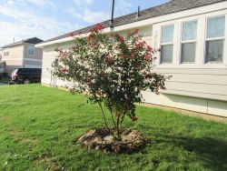 Dynamite Crape Myrtle installed by Treeland Nursery.