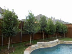 Tree Form Eagleston Holly trees planted in a narrow space between a pool and fence to form a privacy screen. Plantings by Treeland Nursery