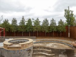 Eagleston Holly trees tightly planted between a fence and pool by Treeland Nursery.