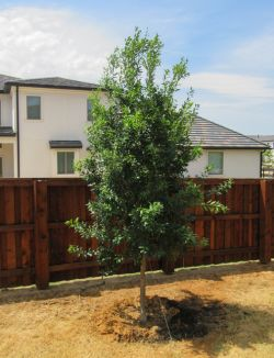 Eagleston Holly installed by Treeland Nursery.