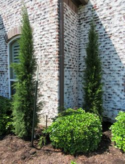 Eastern Red Cedar 'Taylors' planted by Treeland Nursery.