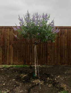 Tree form Vitex 'Shoal Creek' installed by Treeland Nursery.
