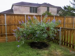 Vitex Shoal Creek planted in a backyard to provide a screen by Treeland Nursery.
