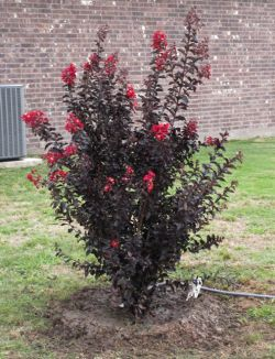 Vibrant Black Diamond Crape Myrtle with red flowers.