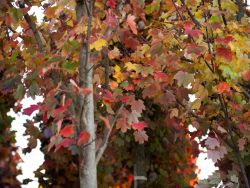 Brandywine Maple leaves in the Fall.