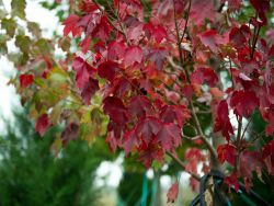 Brandywine Maple leaves in the Fall at Treeland Nursery.