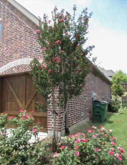 Centennial Crape Myrtle with magenta flowers.